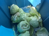cabbage_6348