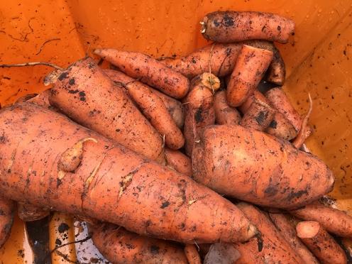 carrots_6685