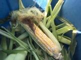 corn_6343