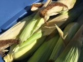 corn_6561