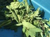 herb_6396