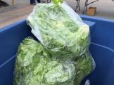 lettuce_6237