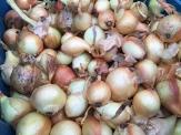Onions_0600 (1)