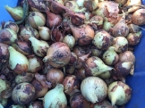 onions_6414