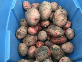 Potatoes_0588 (1)