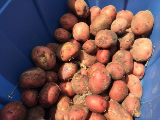 potatoes_6244