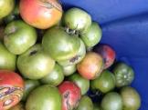tomatoes_8205