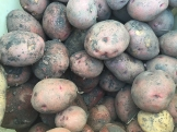 potatoes_6991